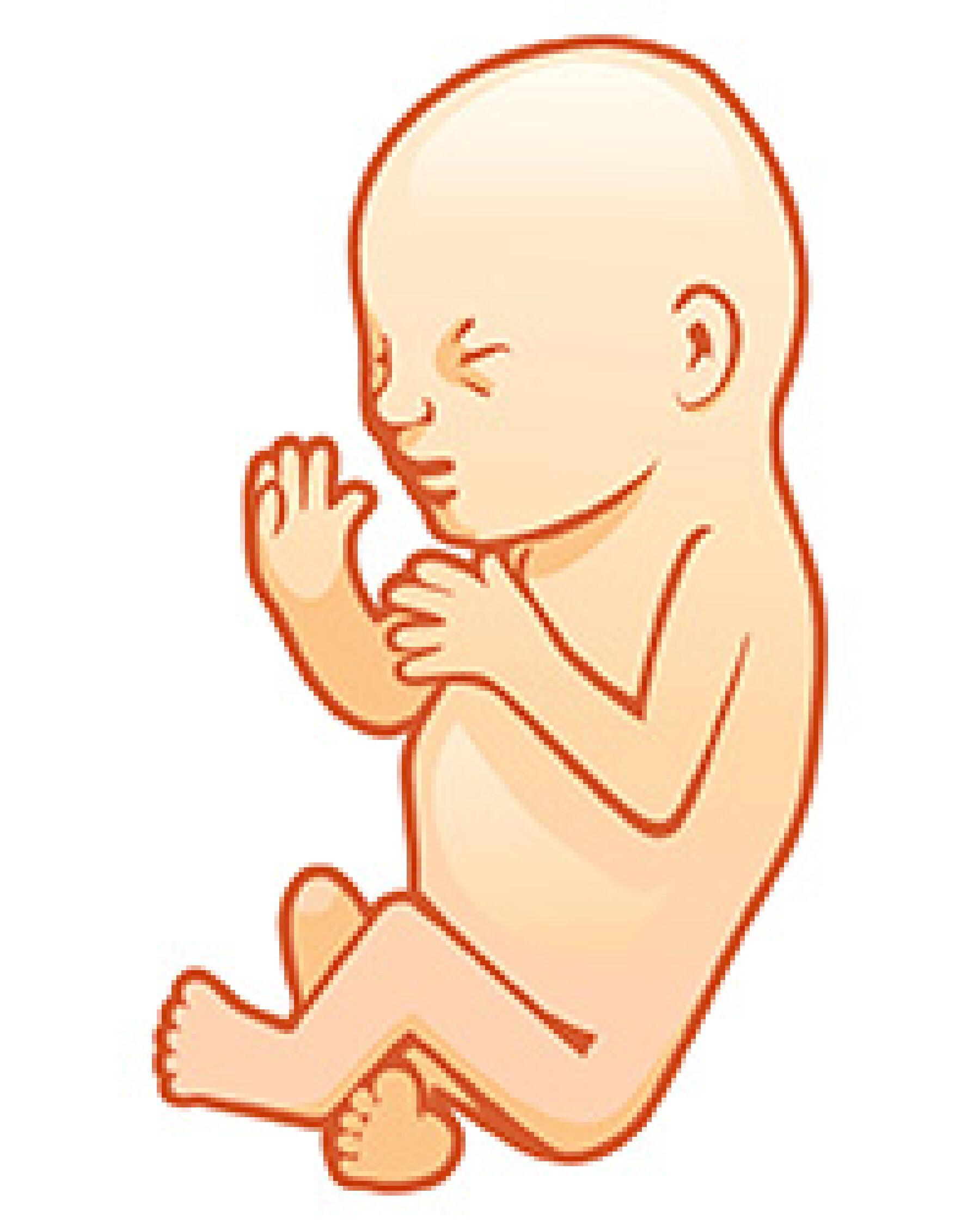 Voyage in utero : le 7e mois